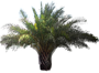 Canary Island Date Palm